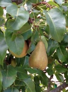 Filole Pears